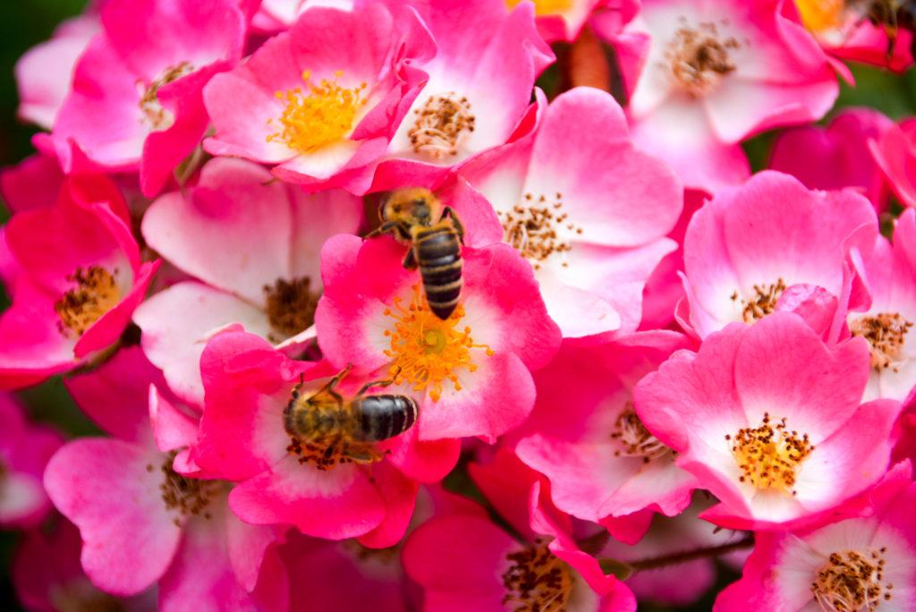 Bienen, Blumen, Natur